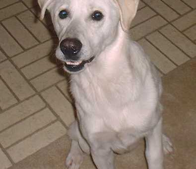 Kris is a large young male Labrador Retriever German Shepherd mix who wondered right through the fro