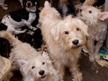 Report: Puppy mill revenues decline as states, localities move to end pet store dog sales