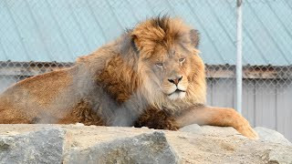 Lions, Tigers, Bears & more rescued from Canada Roadside Zoo