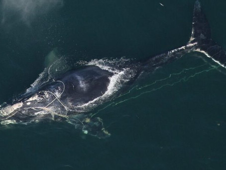 Right whales are now 'critically endangered'—just a step away from extinction