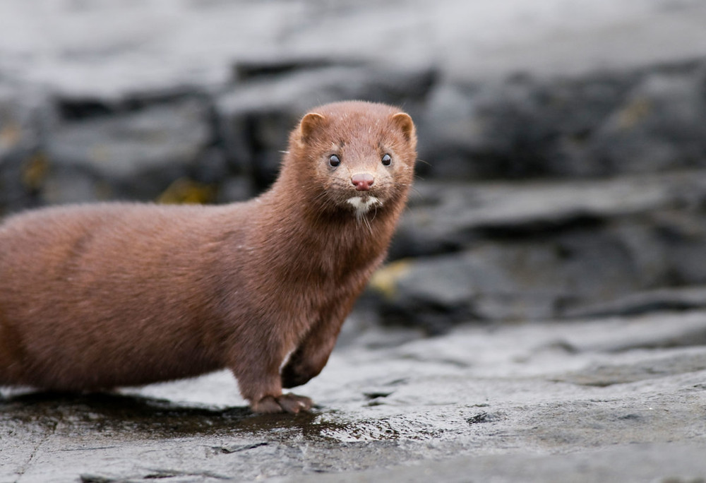 Dutch fur farms are gassing 350,000 mink, mostly pups, following coronavirus outbreak