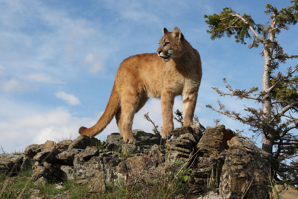 Washington state plans to increase trophy hunting of cougars despite widespread public opposition