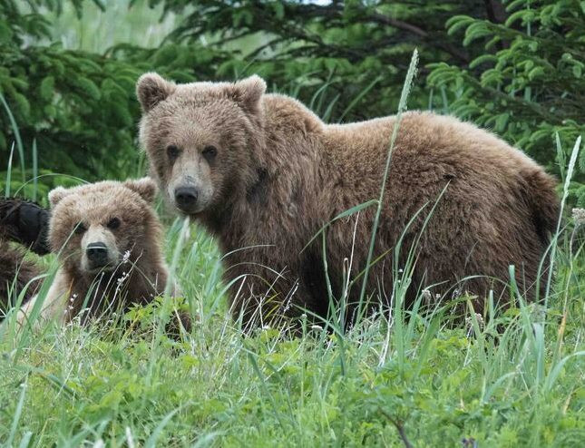 Trump administration opens Alaska's national preserves to cruel practices like trophy-hunting denning bears and wolves and their cubs; proposes disbanding protections on Kenai Wildlife Refuge