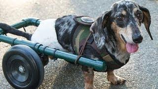 Paralyzed Dog Gets Wheels – Ricky Bobby