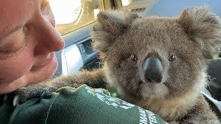 Australia fires: Helping koalas in need