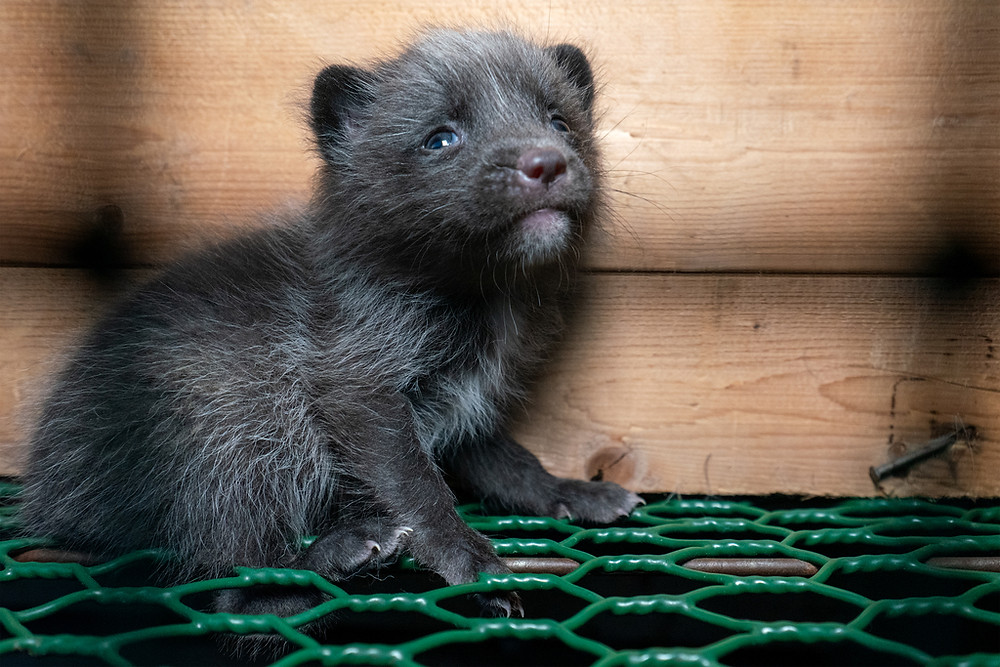 Mink on fur farms test positive for coronavirus, increasing urgency to end this brutal trade