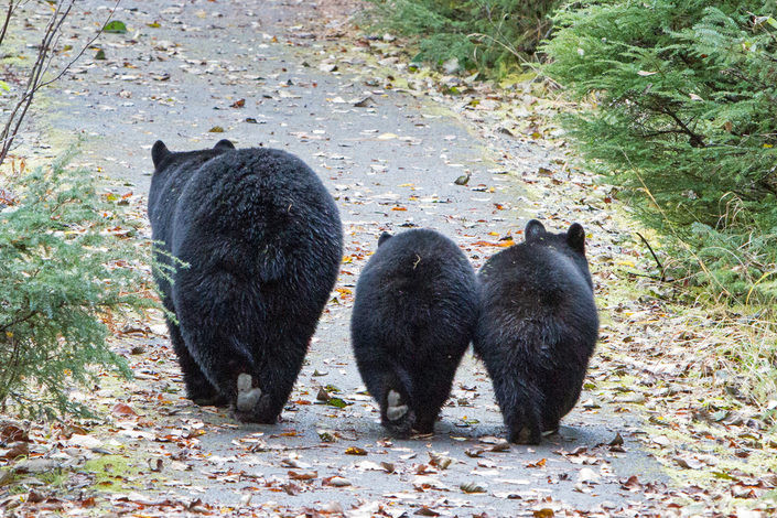Missouri proposes opening its small black bear population to trophy hunters