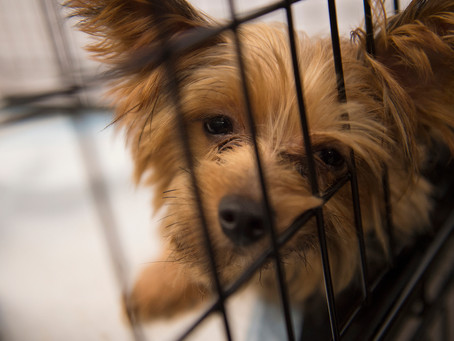 HSUS survey shows pet stores do brisk business selling puppy mill dogs during pandemic