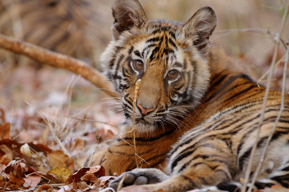Members of Congress say more constituents support bill to outlaw public contact with big cats in wake of 'Tiger King'