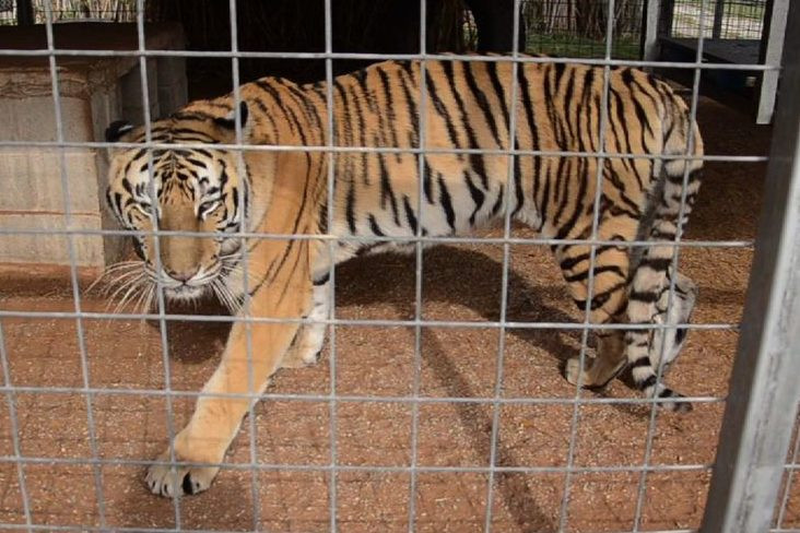 Court gives Joe Exotic's zoo to Carole Baskin of Big Cat Rescue; but no reprieve for the animals