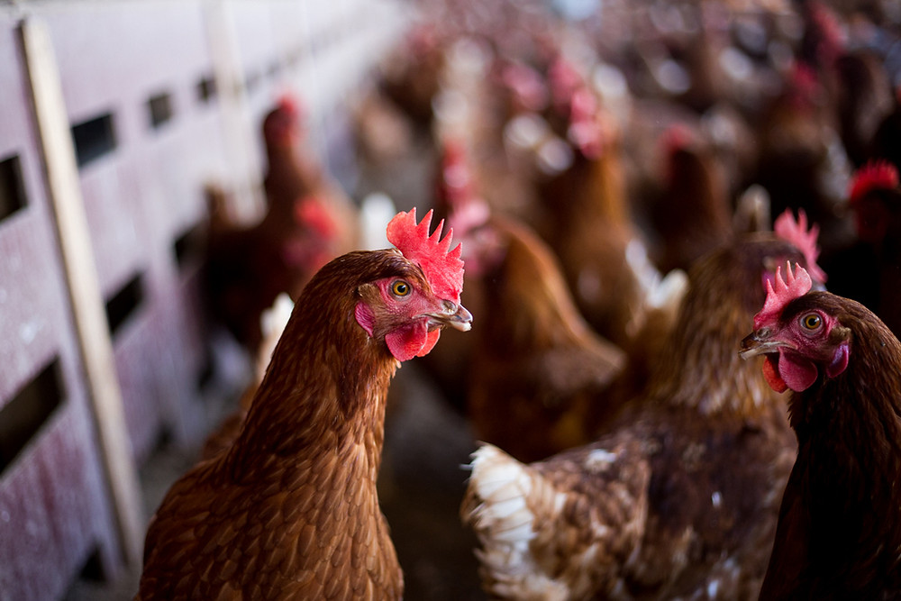 BREAKING NEWS: Judge dismisses attempt to overturn California's historic cage-free law
