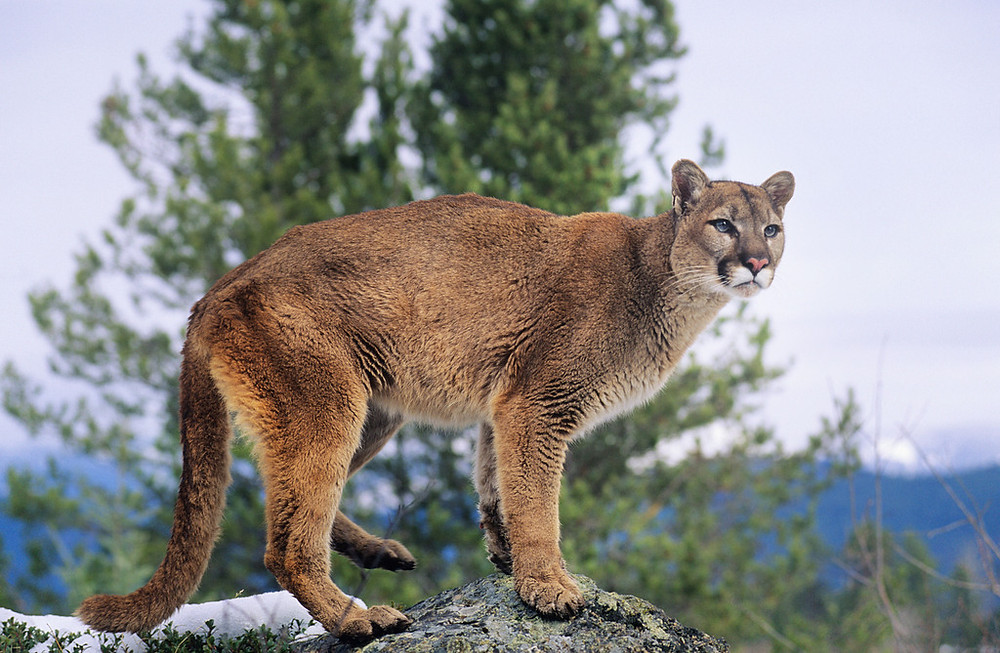 For the third year in a row, Nebraska wants to open a small and declining population of mountain lions to trophy hunters