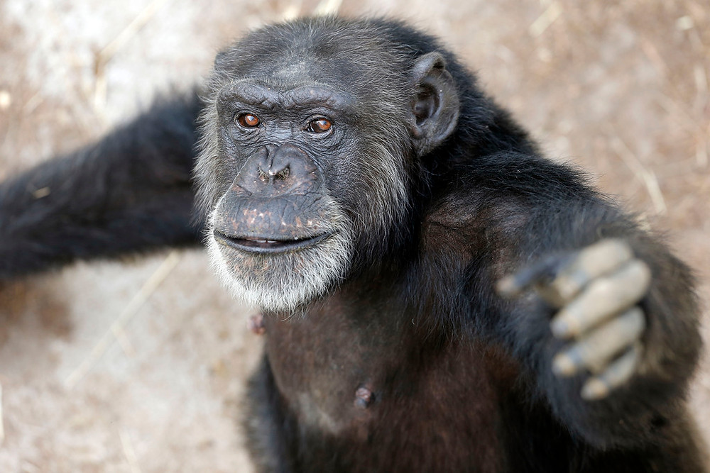 House passes second funding package with welcome news for chimpanzees, right whales and farm animals