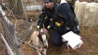 Rescued Goat Walks Again