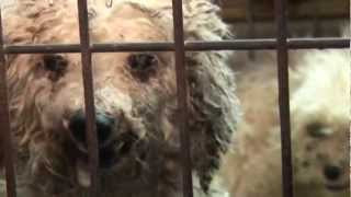 Dogs Suffer in AKC-Linked Puppy Mills