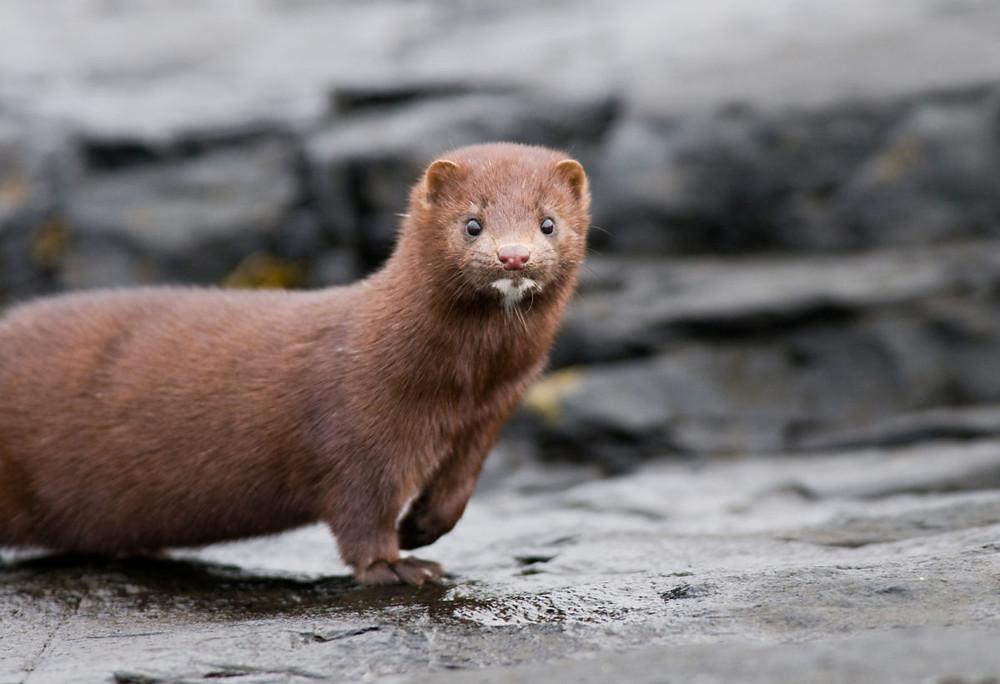 Dutch fur farms have killed 575,000 mink, mostly pups, following coronavirus outbreak