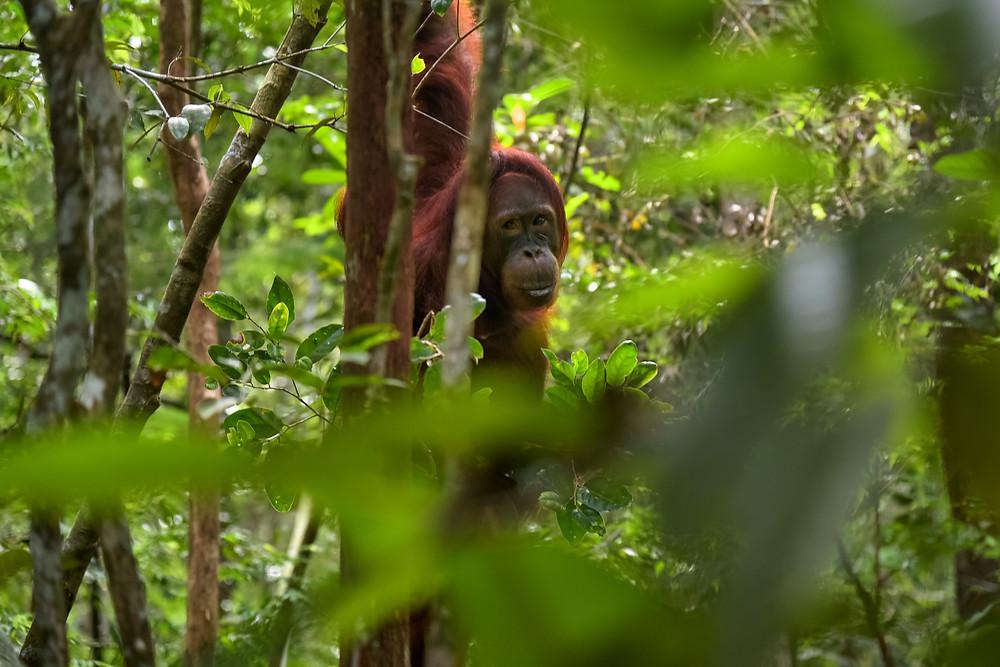 An Orangutan: David Attenborough: A Life on Our Planet