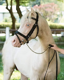 Cadlanvalley Sir Ivanhoe, étalon Welsh B cremello, poney de sport