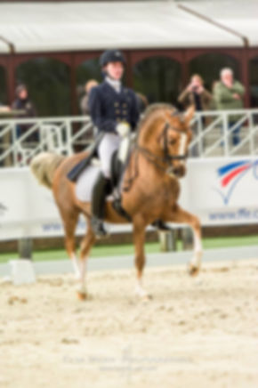 Champion Suprême d'Eté, Etalon DRP agréé PFS, poney de dressage allemand, Deutsches Reitpony, disponible en IAC pour vos ponettes et vos juments