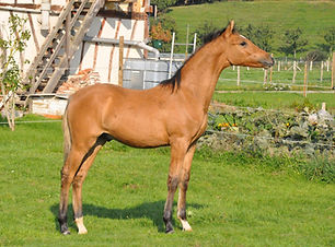 Bailey's Alizay, poney de dressage, France