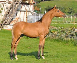 Bailey's Alizay, Poney de Dressage