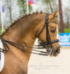 Champion Suprême d'Eté, étalon poney allemand (Deustches Reitpony), par FS Champion de Luxe, palomino