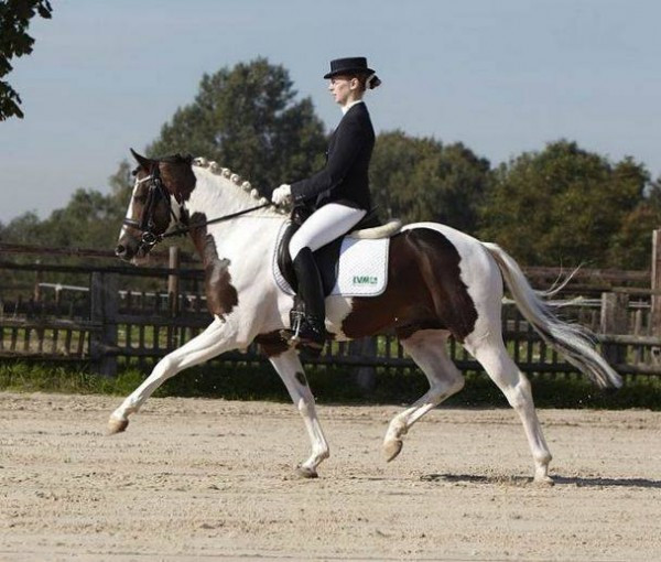 Jacky Boy, étalon poney de dressage pie bai, sera disponible pour vos juments à partir de 2020 !