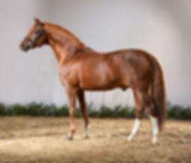 Dressman, Deutsches Reitpony, étalon poney allemand de dressage