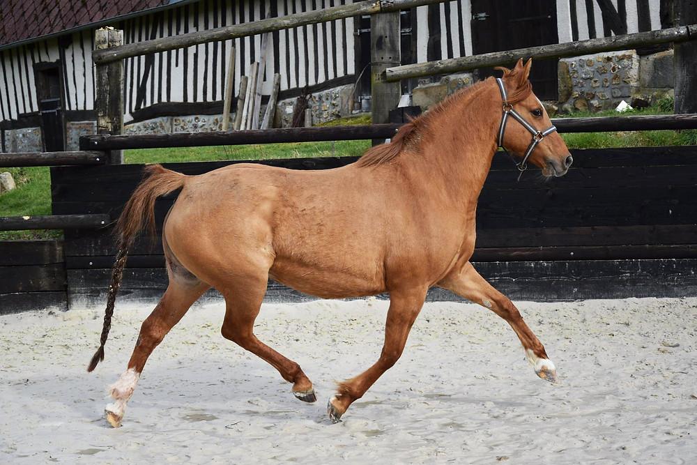 Scarlett des Bourdons, poulinière DRP à l'élevage des Petits Prés, poneys de dressage en France