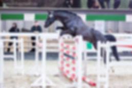 RM V-Power, étalon Deutsches Reitpony, poney de dressage allemand, par Valido's Highlight