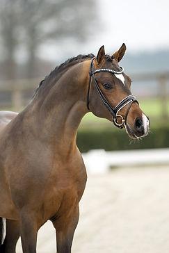 Cosmo Callidus NRW, étalon DRP utilisé par l'Elevage des Petits Prés, poneys de dressage allemands
