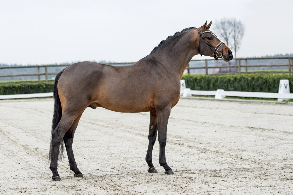 Cosmo Callidus NRW est un étalon poney de dressage allemand (Deutsches Reitpony)