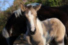 Poulain poney par Carlchen 57, étalon poney de dressage
