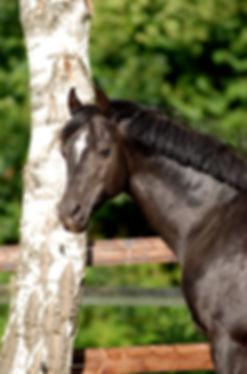 Viersen K, étalon poney allemand, orienté dressage et complet, par Valido's Boy