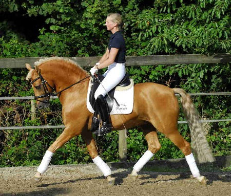 Golde Dancer, étalon Deutsches Reitpony, poney de dressage champion d'Europe