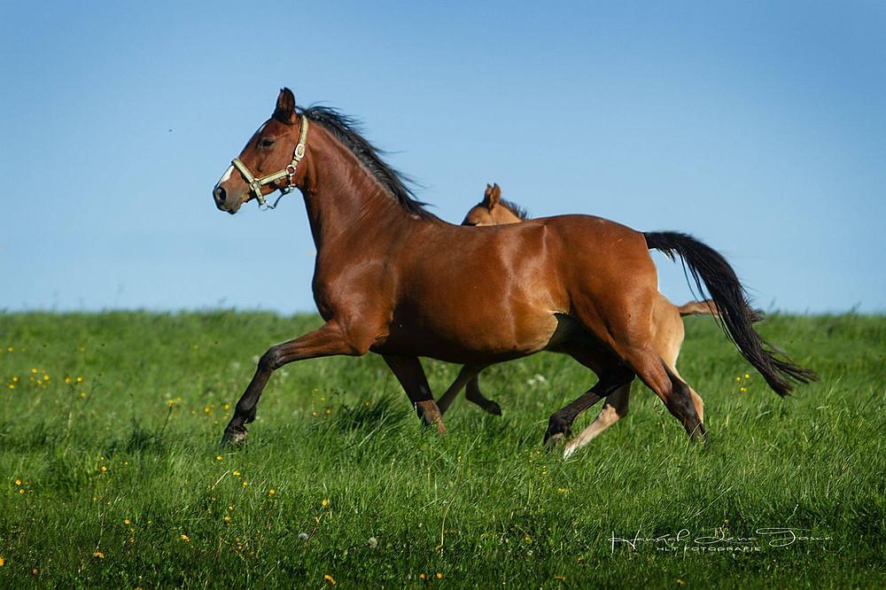 Ria, poulinière poney DRP, par FS Coco Jambo