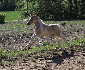 Poulain par Carlchen 57, étalon poney de dressage DRP