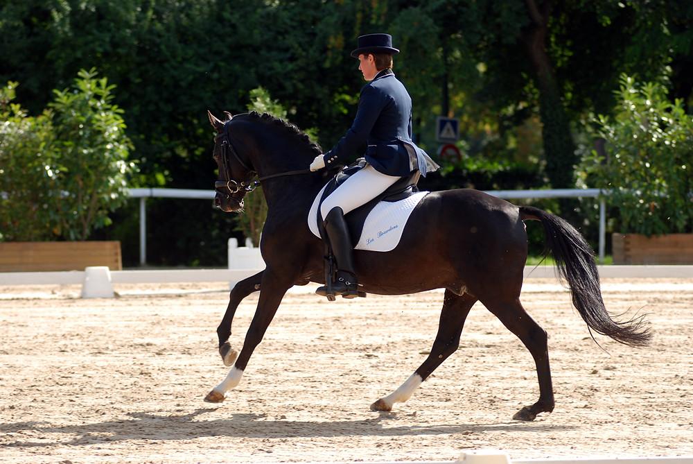 Viersen K, étalon poney de sport orienté dressage