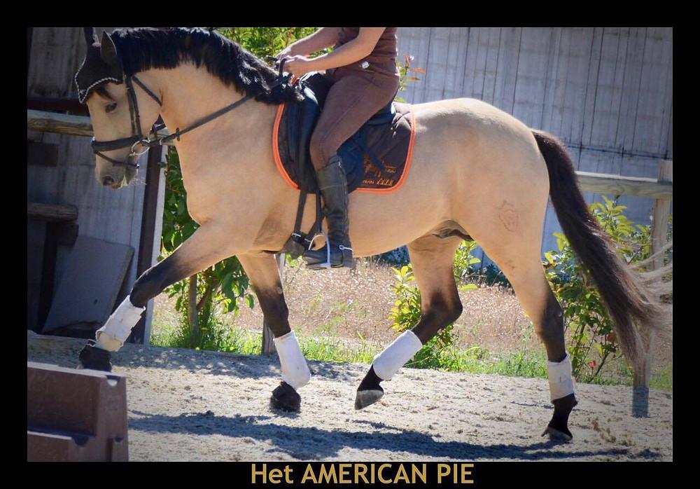 American Pie, étalon poney de dressage, France