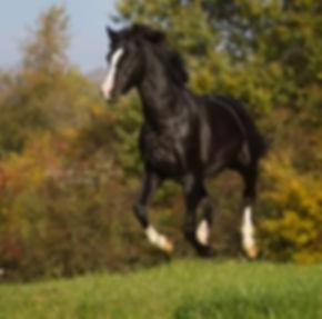 RM V-Power, étalon poney de dressage allemand, disponible pour vos juments en IAC en Franc