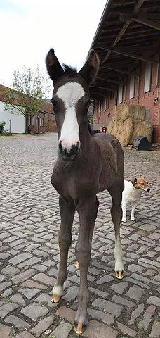 Poulain par FS No Doubt, étalon poney de dressage