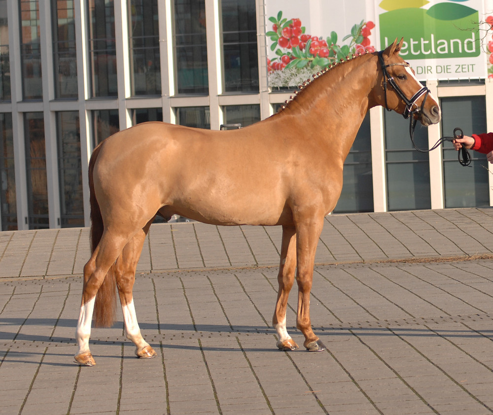 Kastanienhof Cockney Cracker, Etalon Poney allemand de dressage