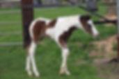 Poulain pie bai par Jacky Boy, étalon poney