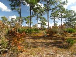 Lake Wales State Forest Pines