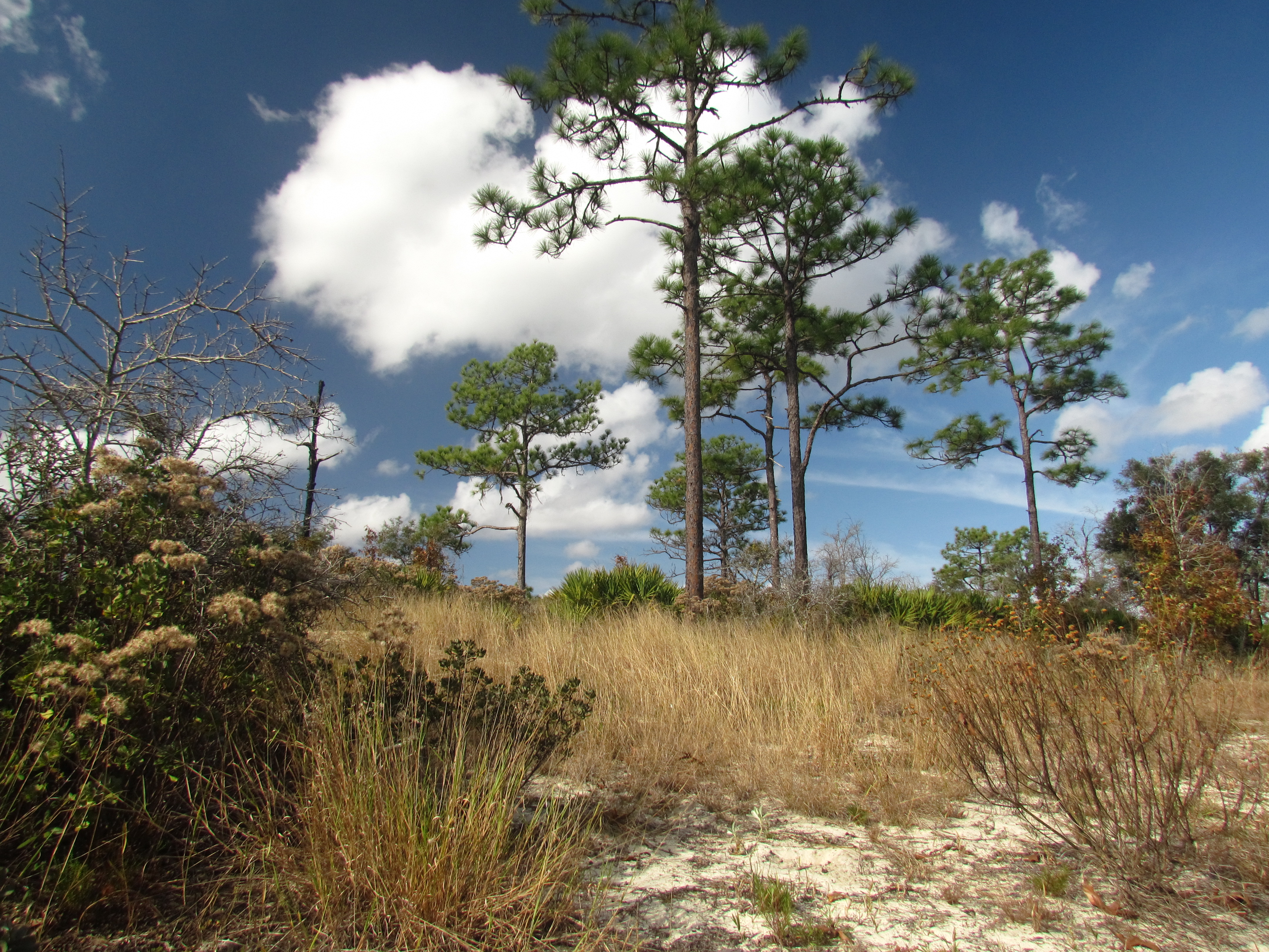 Lake Wales State Forest Sandhill