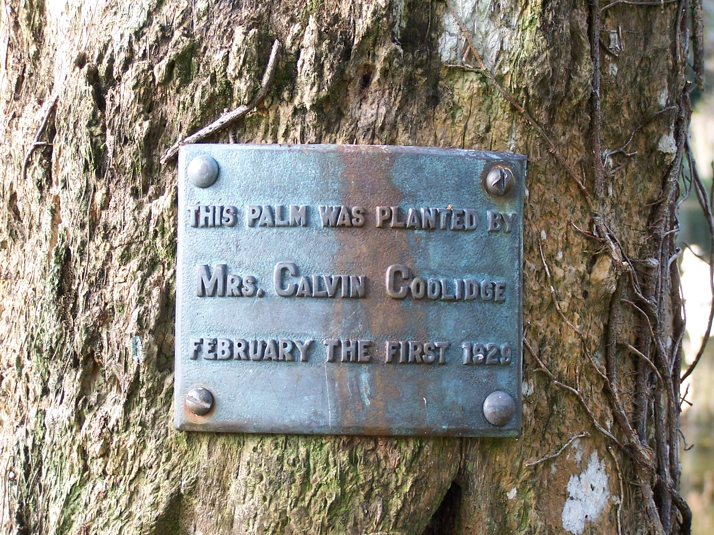 Mrs. Calvin Coolidge Tree