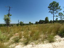 Wiregrass Pine Ridge Preserve