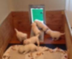 Yellow Labrador puppies