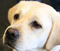 Darla, Little Rascal Labrador's next momma