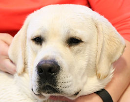Peaty, one of the Little Rascal Labrador's boys